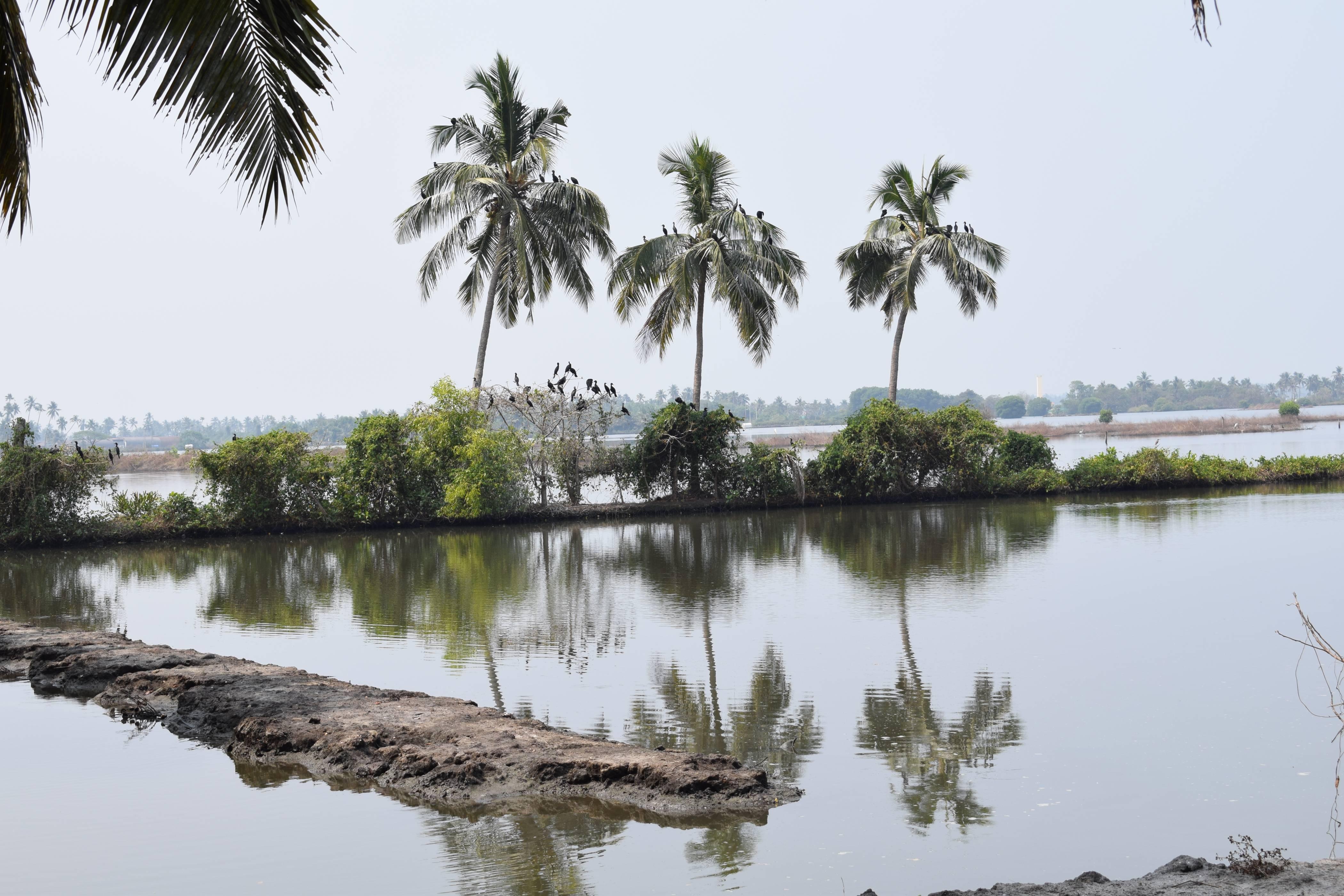 Kochi : Pokkali rice field