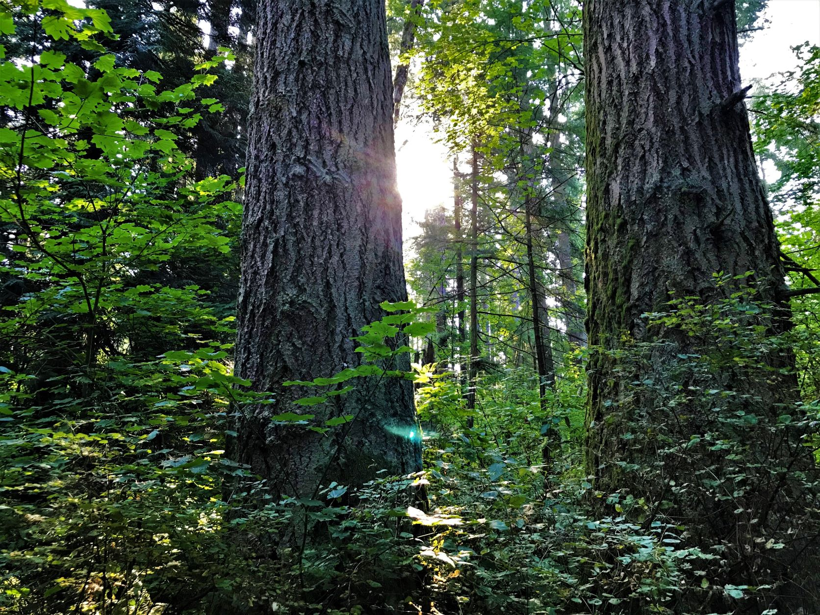 """An example of BC's endangered Coastal Douglas-fir zone, Sunnyside Acres Urban Forest represents just one of Surrey's many mature forest parks and biodiversity """"hubs""""."""