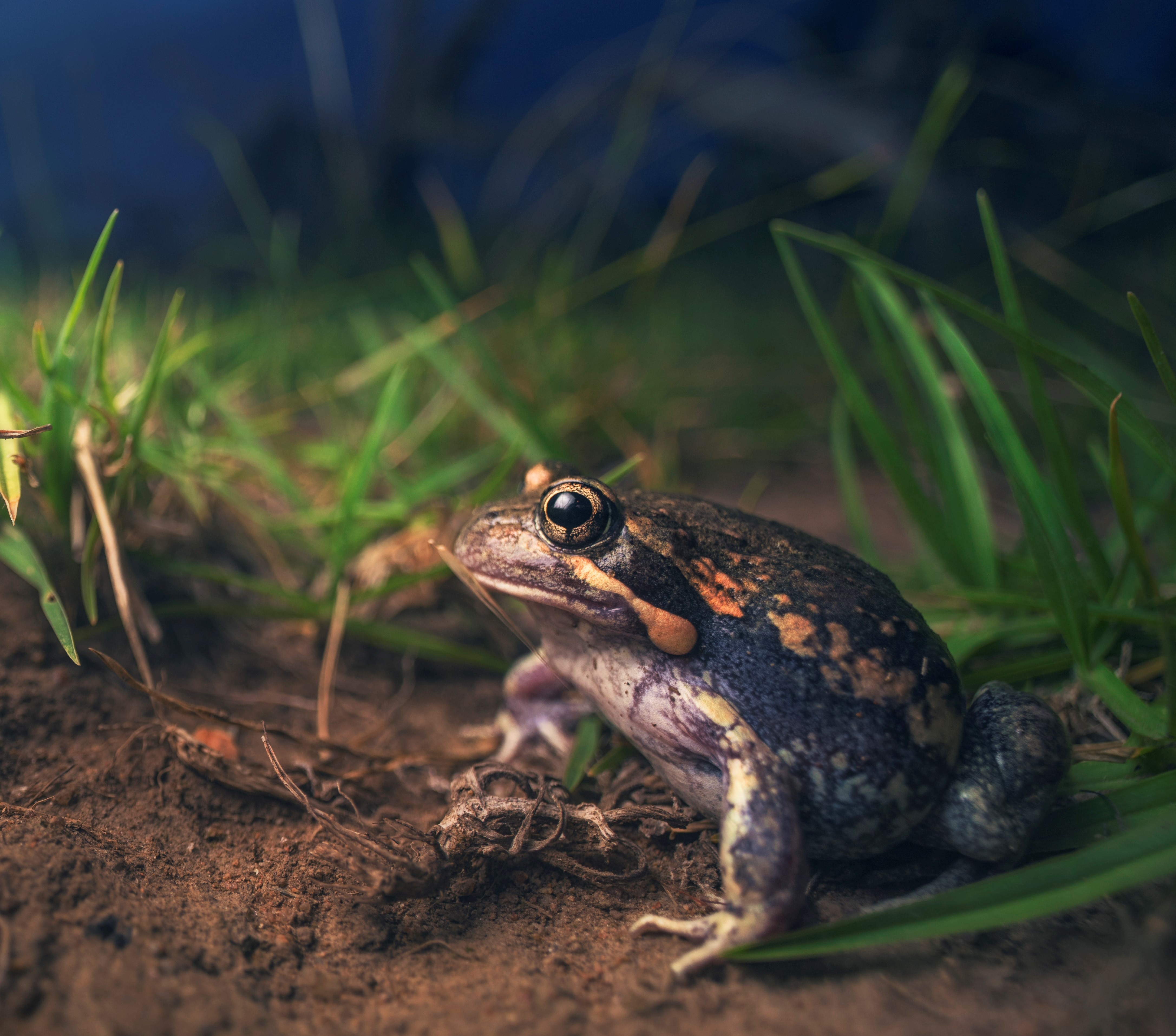 The Pobblebonk or Banjo frog is one of seven amphibian species found in Yarra.  It has a very distinctive call consisting of a short explosive musical note producing a melodic 'bonk' sound.  This frog species is considered a good bio-indicator of habitat quality because they have complex life cycles dependent on both aquatic and terrestrial habitats.