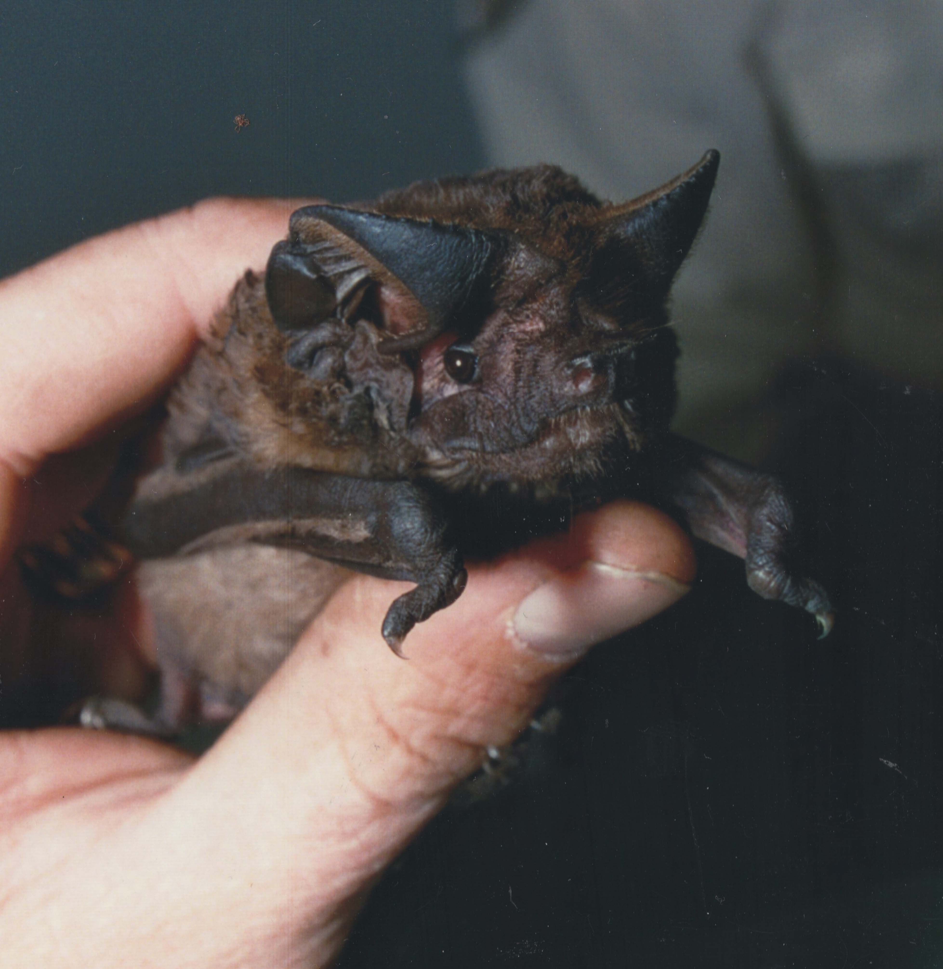The White-striped freetail bat is one of up to nine species of microbats using the bushland areas in Yarra for food, shelter and breeding. It is the only microbat with an echolocation call that is audible to humans.  Microbats are prolific insect eaters, consuming up to 33% of their body weight per night, therefore they play a very important role in controlling insect populations, and maintaining eco-system equilibrium.