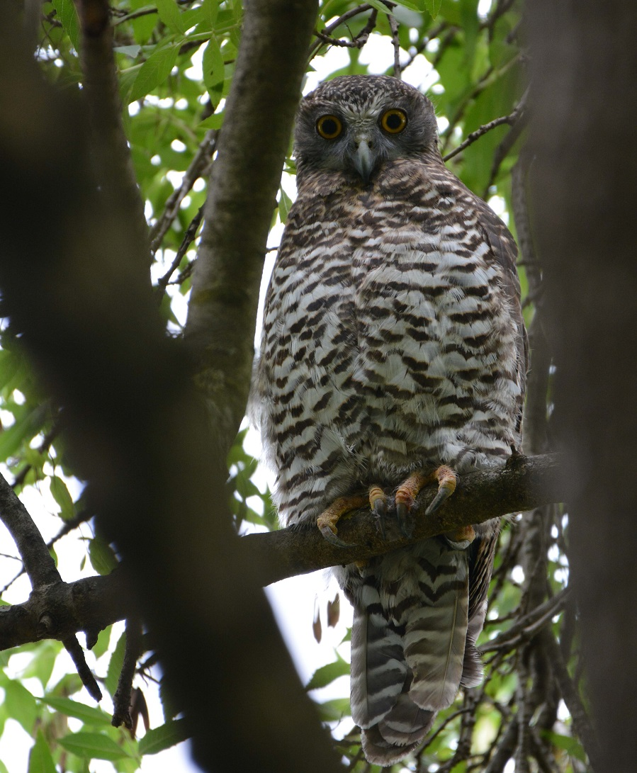 The powerful owl is Australia's largest owl and is listed as threatened under state legislation. Powerful owls have been sighted in large parklands in Yarra, including Burnley Park.